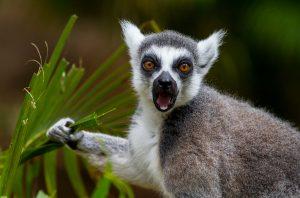 En lemur sitter med gräs i handen och ser lite gräslig ut